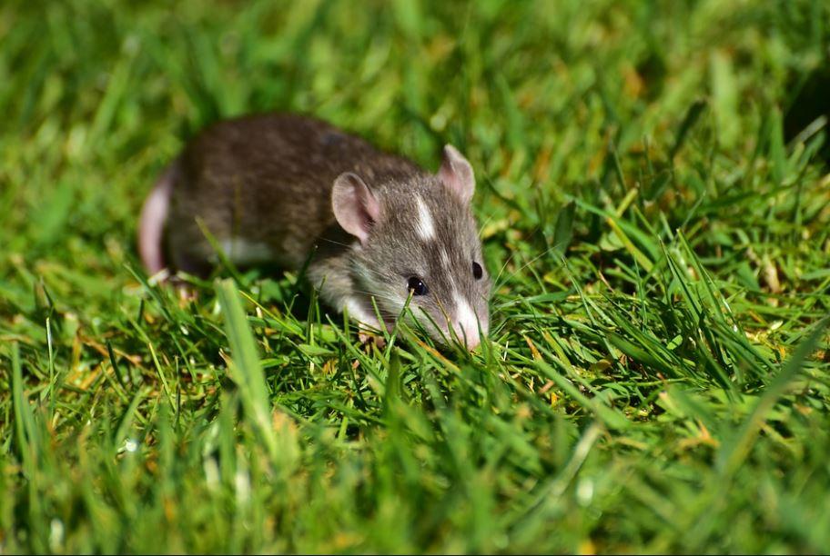 Marseille : attention aux rats dans le jardin !